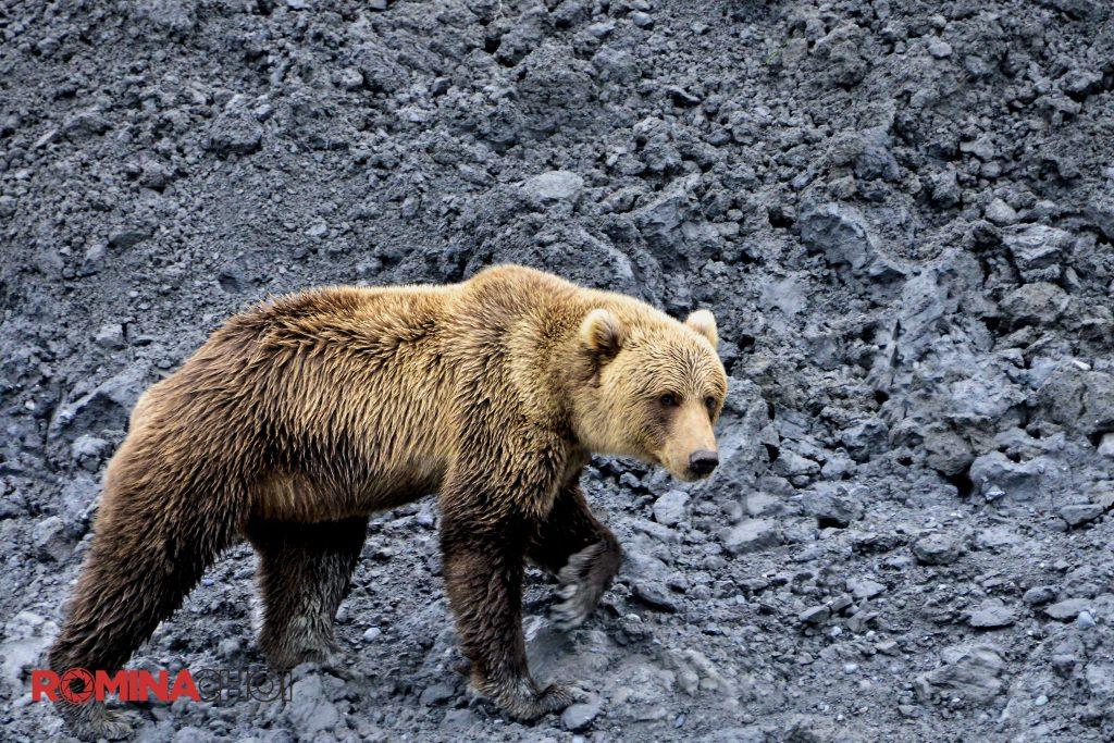 walking bear