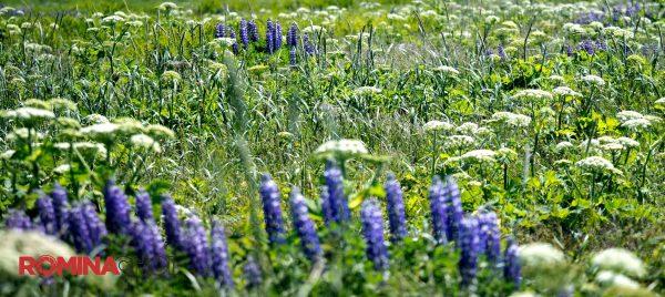 Lavender Plantation