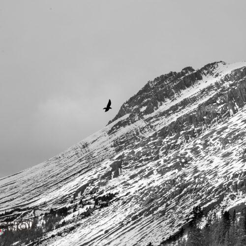 BW Flying Bird