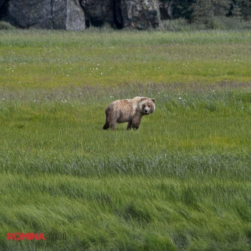 Young Bear in the Field