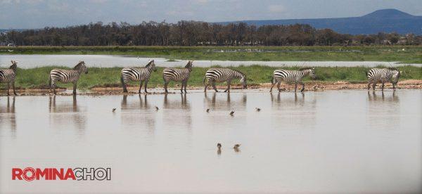 Seven Zebras