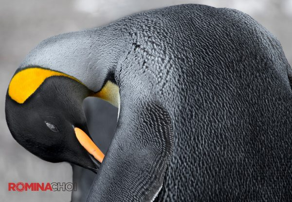 Beautiful King Penguin