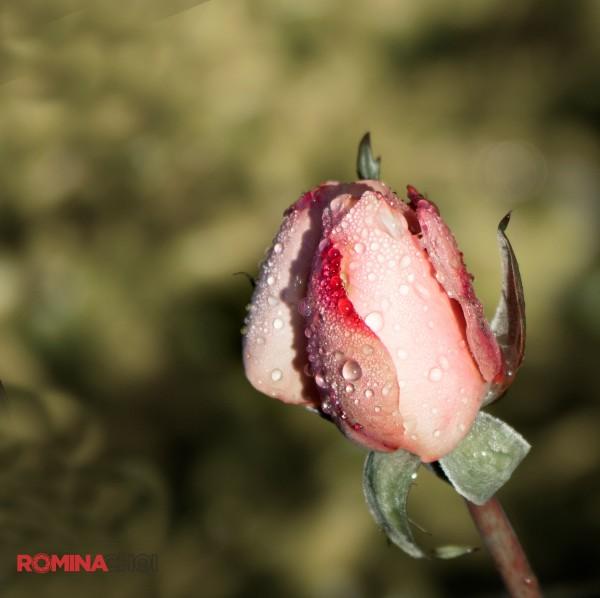 Moist Flower Bud