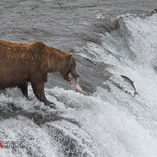 Hunting Bear with a Fish