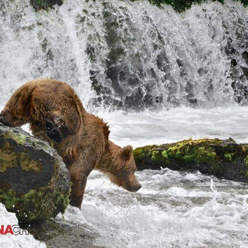 Bear in the Mountain Stream