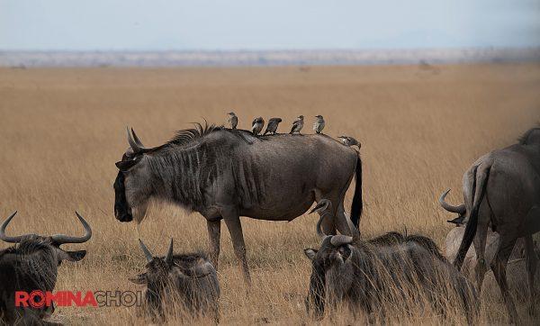 Birds and the Wildebeest