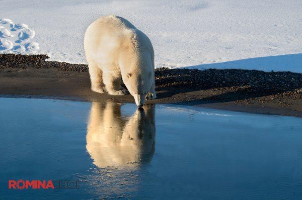 Polar Bear at the Lake