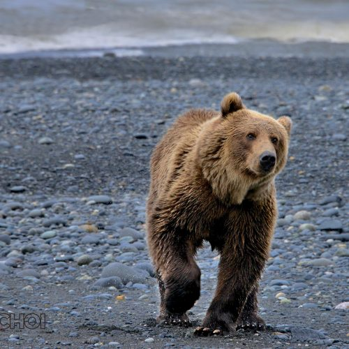 Walking Grizzly