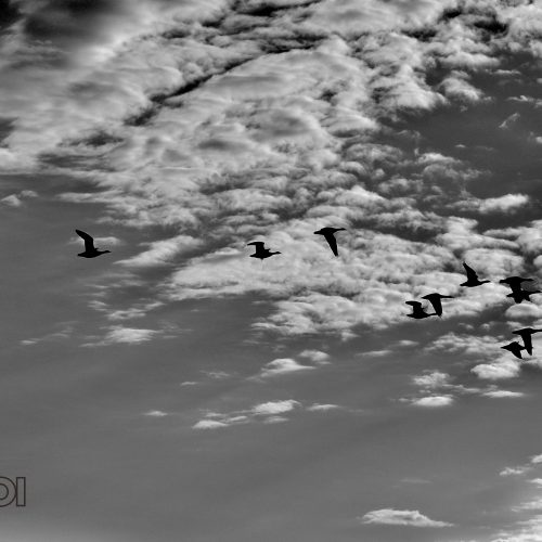BW Birds in the Sky