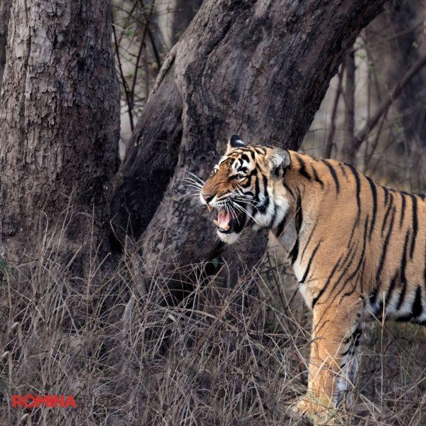 Growing Tiger
