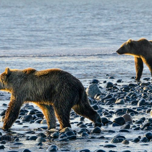 Bears in the Sea