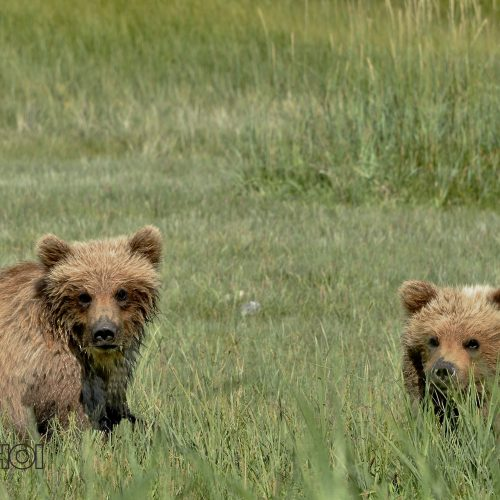 Young Grizzly Bears