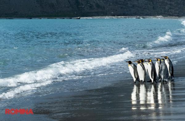 King Penguins at the Seashore