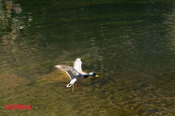 Flying Water Bird