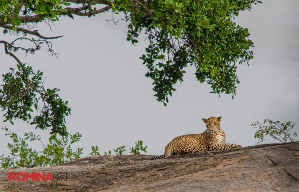 She-cheetah