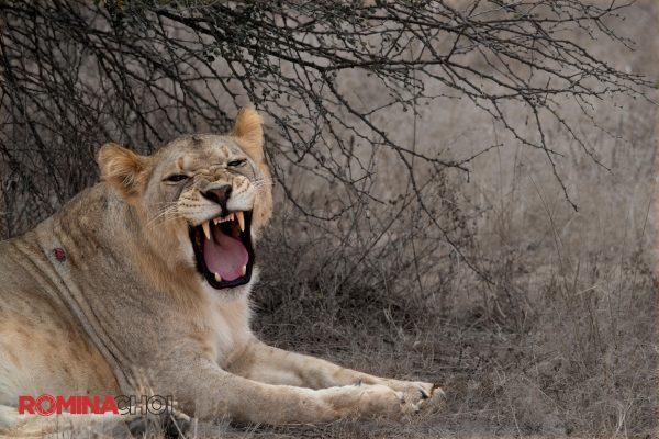 Lioness Growl