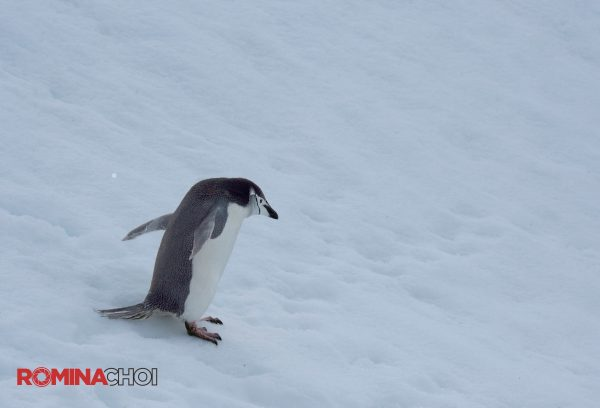 Penguin in the Snow