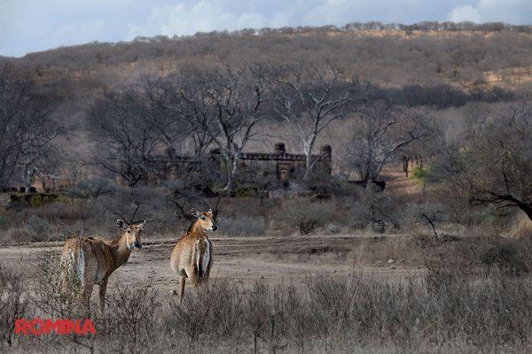 A Pair of Deer