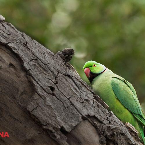 Resting Parakeet
