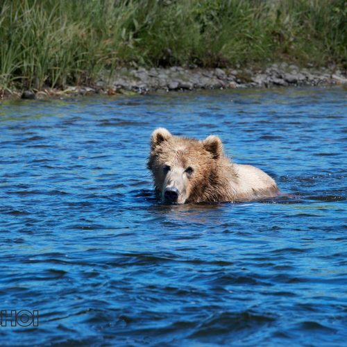 Swimming Bear