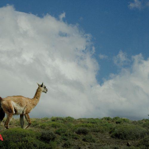 Guanaco Llama