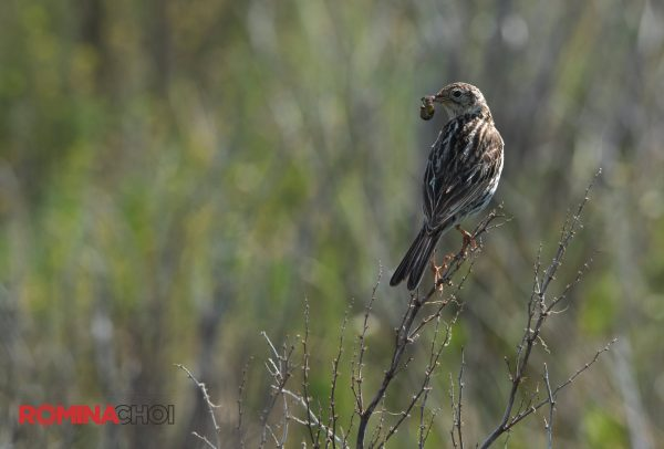 Hunting Sparrow