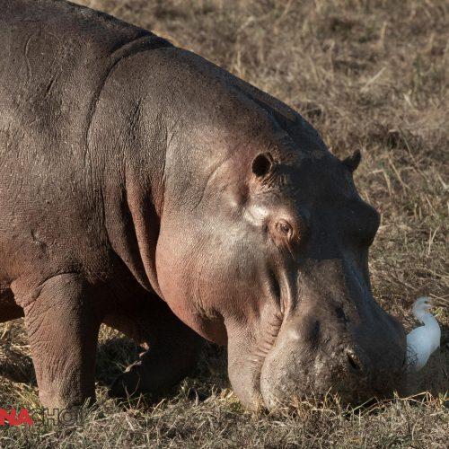 Large Hippo