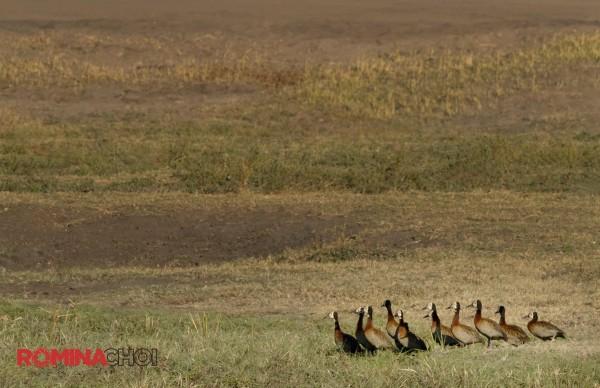 Ducks in Line