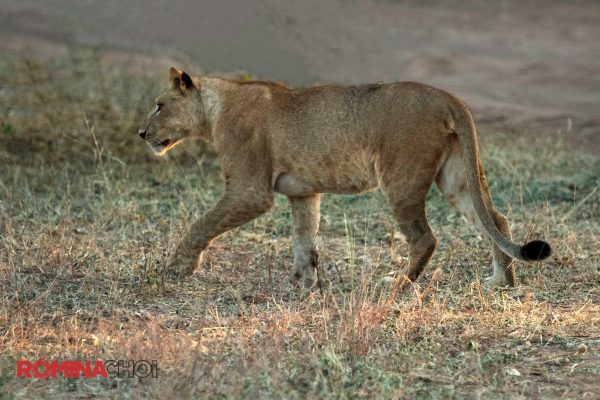 Hunting Lioness