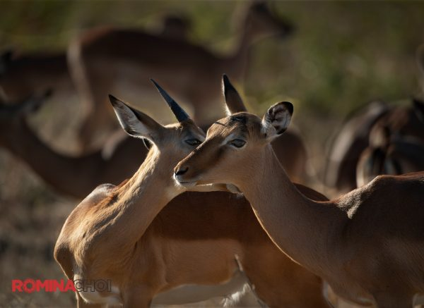 Male and Female Deers