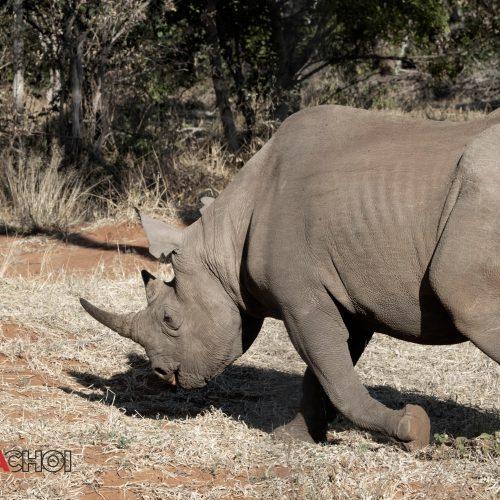 Walking Rhino