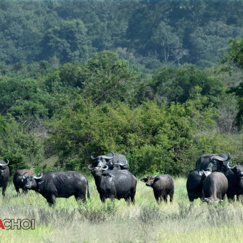 Bulls in the Field