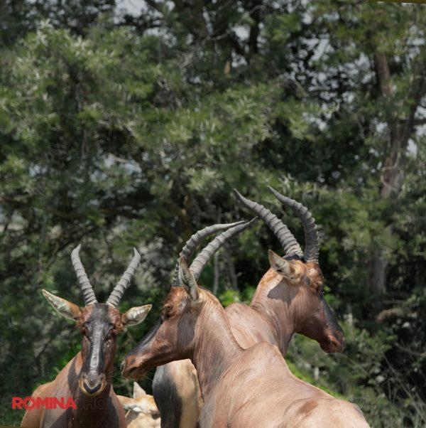 Four Gazelles