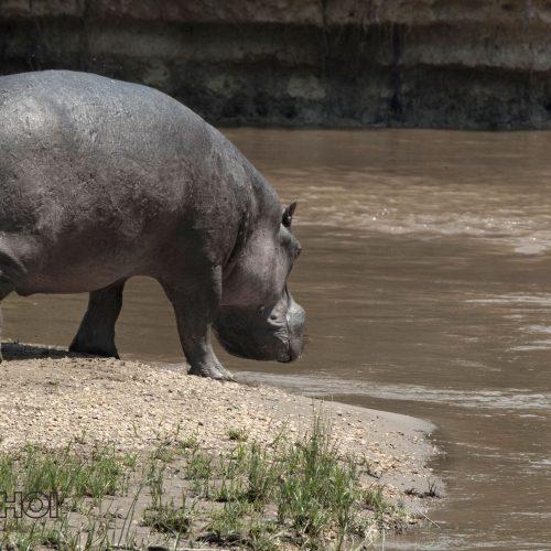 Walking Hippo