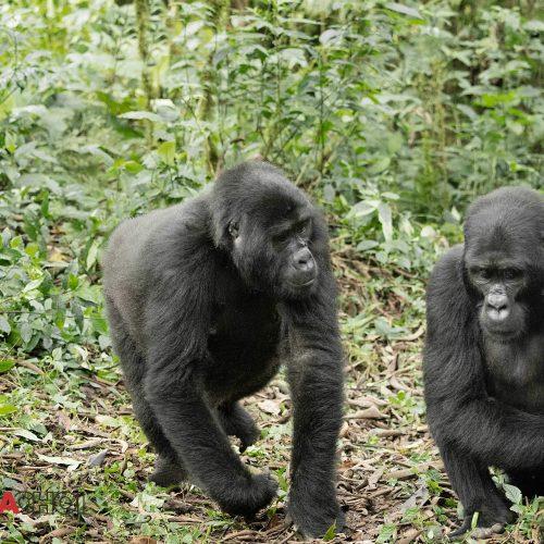 The Gorillas