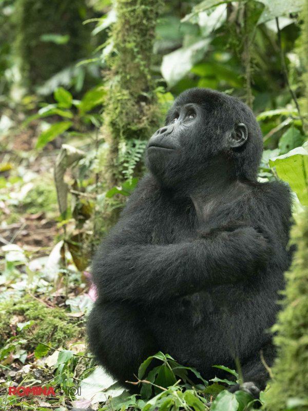 The Eastern Gorilla