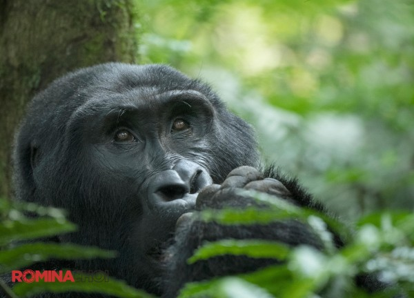 Dreamy Gorilla Eyes