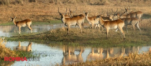 Antelopes in the Field