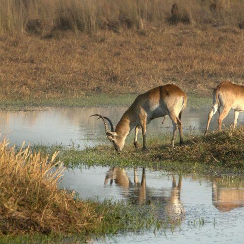 Eating Antelope