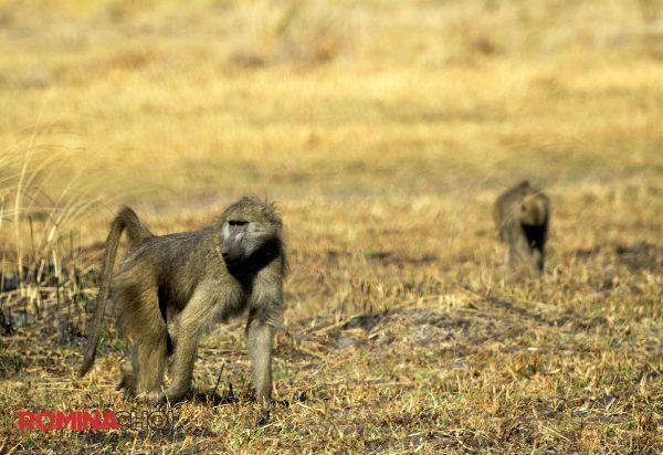 Walking Baboon
