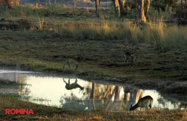 Reflection of an Antelope