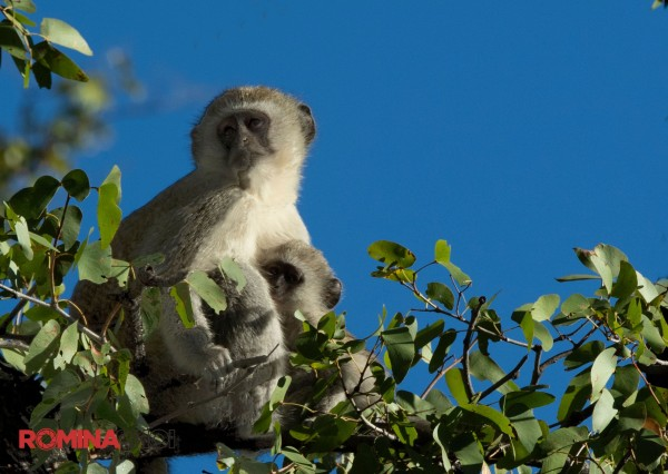 The Gibbons