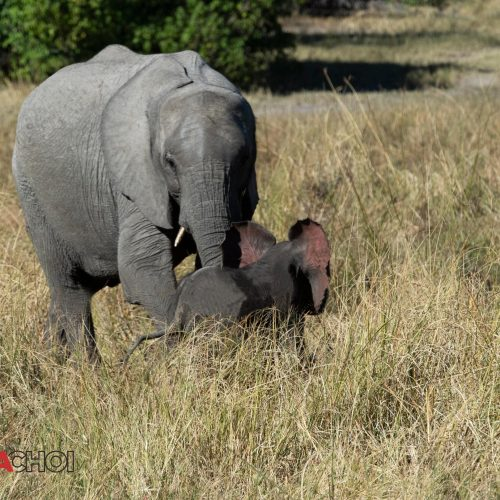 Elephant and the Calf