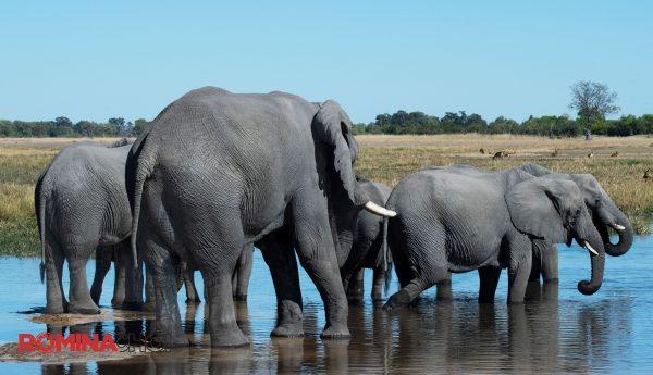 Swimming Elephants