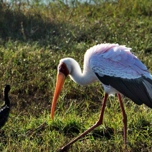 Black and White Storks