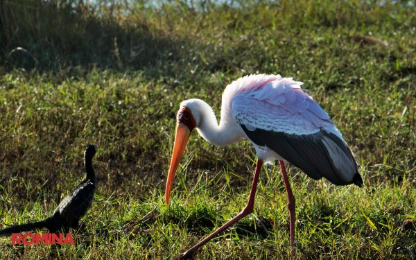 Black and White Storks