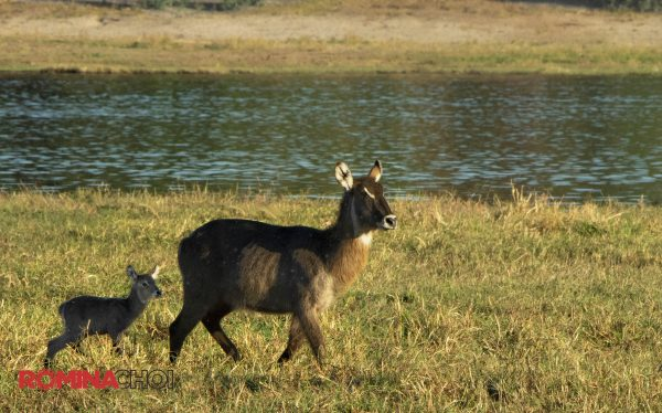 Young and Adult Antelope